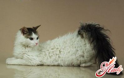 кошка ла перм кудрявая