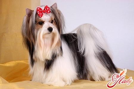 маленькие декоративные породы собак
