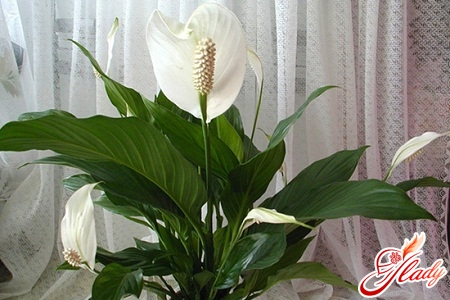Зацвёл цветок женское счастье