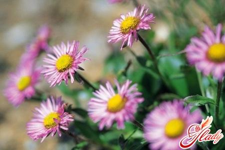 цветы на даче однолетние