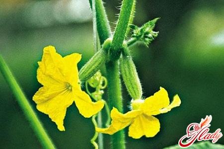 выращивание огурцов рассадой