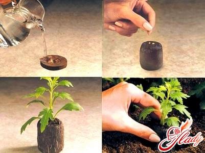 выращивание рассады цветов в торфяных таблетках