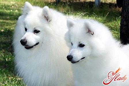 собака японский шпиц