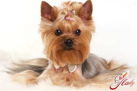 Модные собачки - йорширские терьеры