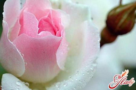 болезни комнатных роз