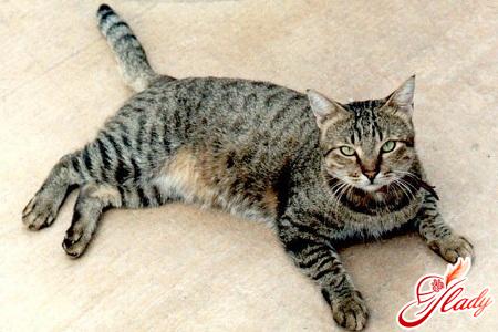европейская короткошерстная кошка характер