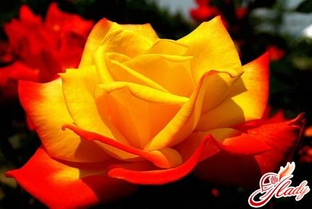 кращі сорти троянд Кордес