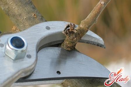 садоводство обрезка плодовых деревьев