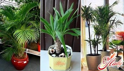 все виды пальм уход в домашних условиях фото