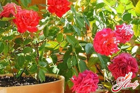 пересадка комнатной розы
