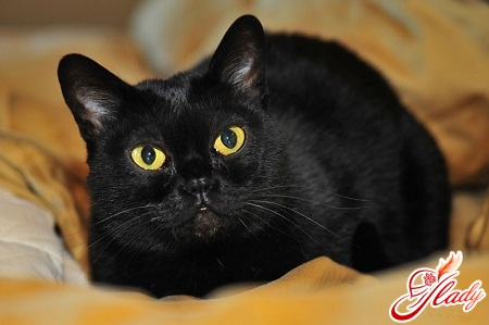 имена для породистых кошек