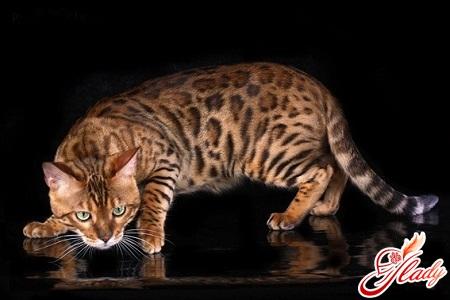 породистая кошка