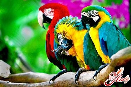 говорящие попугаи породы