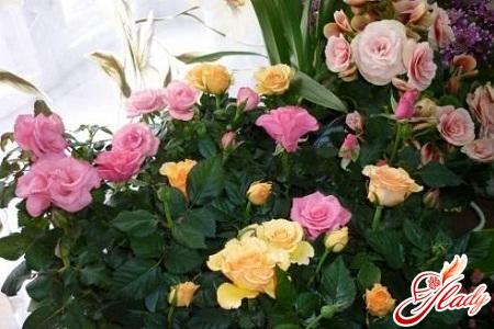 как ухаживать за розой комнатной