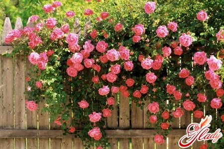 Вьющиеся растения для сада любовь с