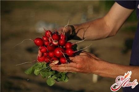 редиска выращивание