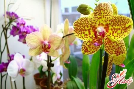 полив орхидей фаленопсис
