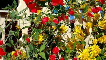 Многолетний душистый горошек- яркий цветник на вашем балконе!