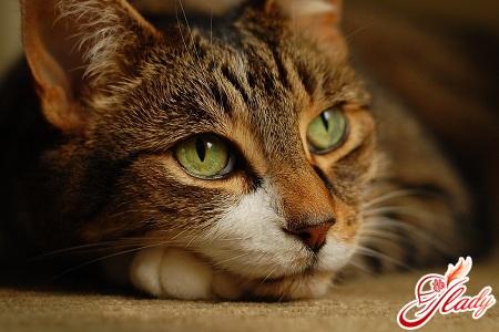 """Самая известная болезнь кошек - стригущий лишай.  И в этом случае поговорка  """"заживет как на кошке """"..."""