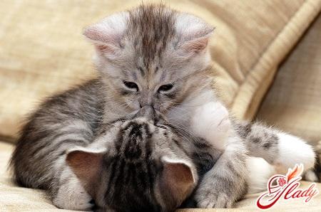 как узнать беременность кошки