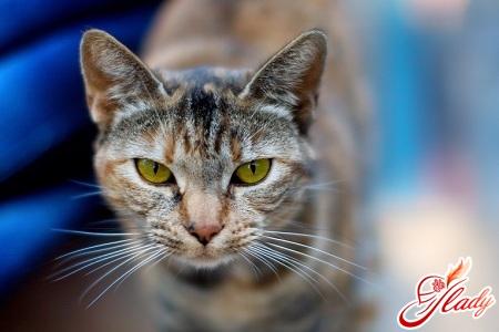 у кошки перхоть