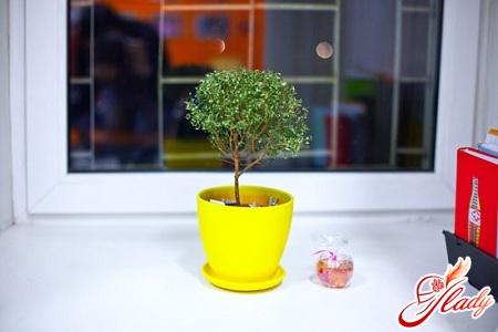 как ухаживать миртовое дерево