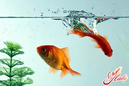 золотая рыбка уход