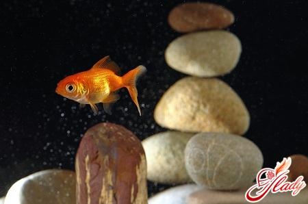 рыбка золотая уход