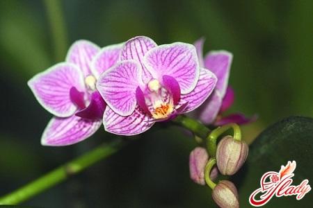 болезни и вредители орхидей