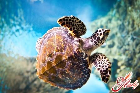 черепахи водные уход
