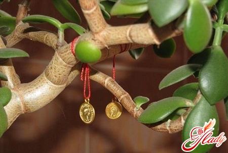 денежное дерево как ухаживать
