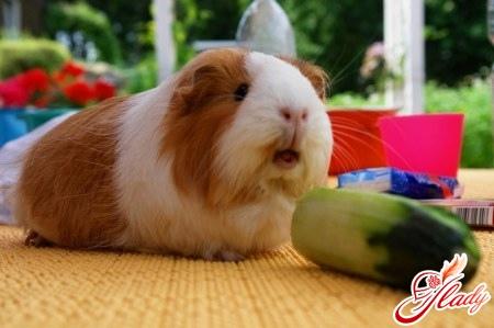 Морские свинки: уход, содержание, кормление