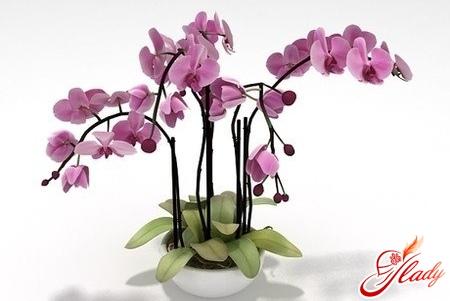 цветы комнатные орхидея