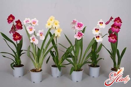 красивая орхидея мильтония