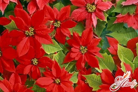 цветок пуансетия
