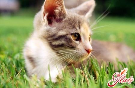 у кота перхоть лечение