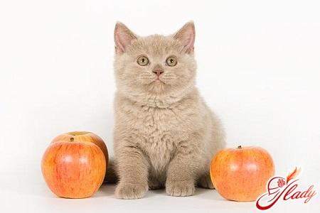 Чем кормить британского котенка: составляем рацион маленького аристократа