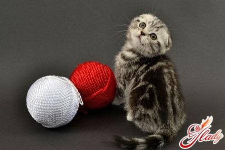 чем кормить вислоухого котенка