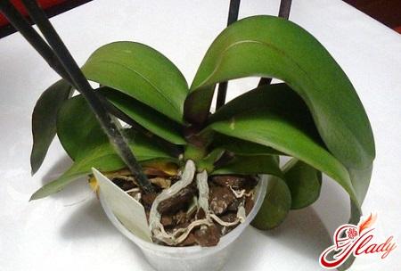как спасти орхидею правильно