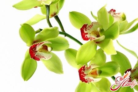 орхидея цимбидиум в домашних условиях