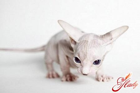 Чем кормить котенка-сфинкса: особенности питания маленьких экзотов