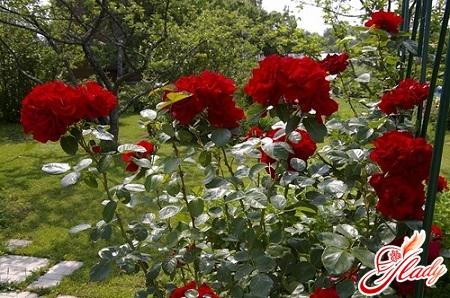 уход за декоративной розой