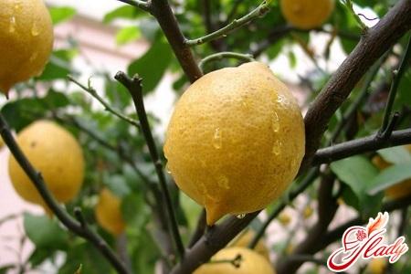 как ухаживать за лимоном комнатным