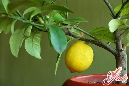 лимон в домашних условиях уход