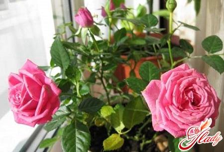 как ухаживать за розами в горшке