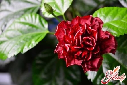 Домашняя роза уход в домашних условиях фото китайская