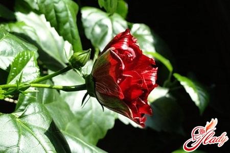 Почему желтеют листья у китайской розы