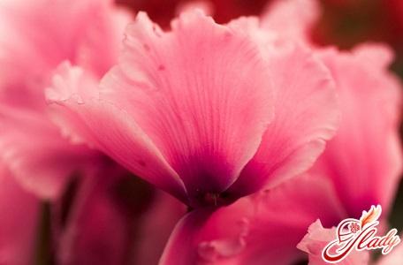 почему не цветет цикламен
