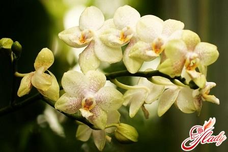 орхидея сбросила цветы