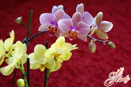 секрет, почему у орхидеи опадают ...